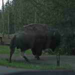 What do you do when a 2,000-pound bison strolls up to your tent? Go and hide in the car!