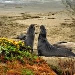 Northern elephant seals fighting