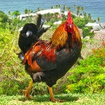 tobago-chicken